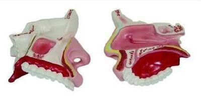 鼻腔放大模型 型号:SJ/113002