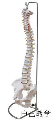 脊椎带盆骨模型(可弯曲)型号:SJ/11105-2