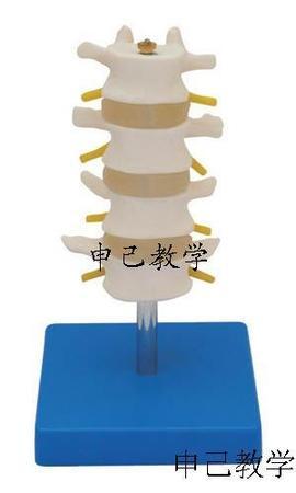 四节腰椎模型 型号:SJ/11109-3