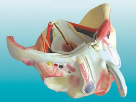 男性骨盆附生殖器官与血管神经模型 型号:SJ/115107-2