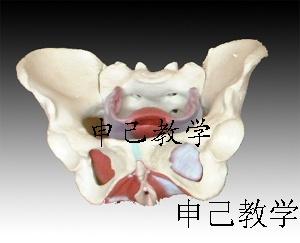 女性盆骨及盆地肌肉模型 型号:SJ/115106