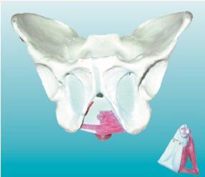 男性骨盆附盆底肌肉模型 型号:SJ/115114-2