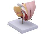女性生殖器官结构模型 型号:SJ/115105
