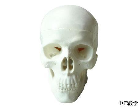 儿童头颅骨模型