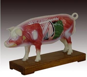 猪体针灸模型 型号:SJ/4001