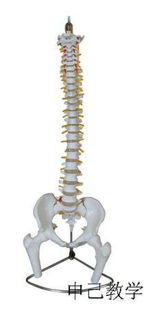 脊柱带盆骨模型(不可弯曲)型号:SJ/11105-1