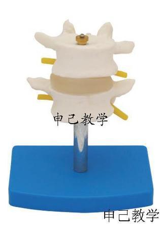 二节腰椎模型 型号:SJ/11109-1