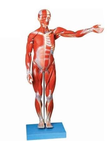 人体全身肌肉解剖模型 型号:SJ/10001-2-3