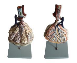 肺小叶放大模型 型号:SJ/113011-1
