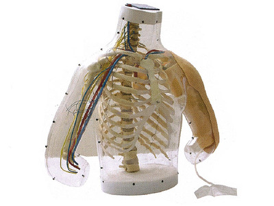 高级上臂肌肉注射及对比模型(带检测警示系统) 型号:SJ/H30