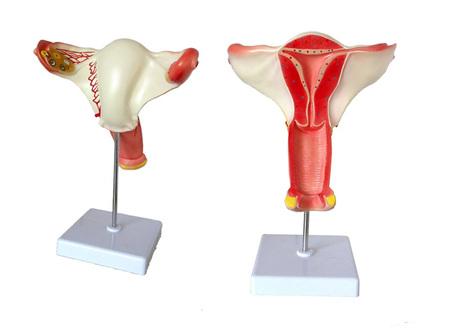 女性内生殖器官模型 型号:SJ/115108