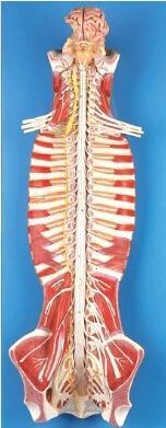 椎管内脊髓与脊神经模型 型号:SJ/118102