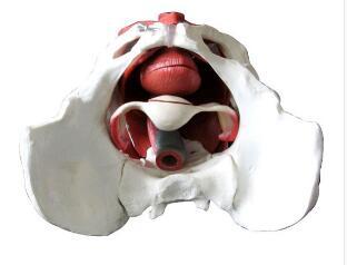 女性骨盆附盆底肌肌肉模型 型号:SJ/115114-1