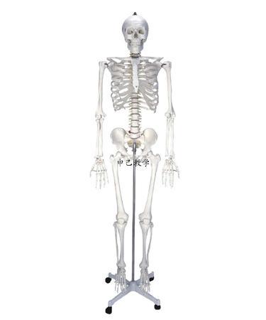 成人大骨架模型 型号:SJ/11101-1