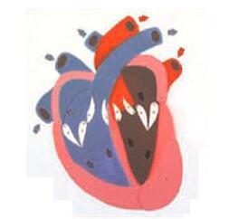 心脏收缩、舒张与瓣膜开闭演示模型 型号:SJ/116015
