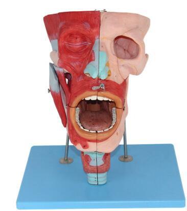 鼻口咽喉腔解剖模型 型号:SJ/113001