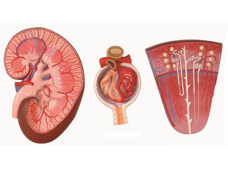 肾与肾单位、肾小球放大模型 型号:SJ/14005