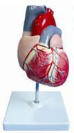 儿童心脏解剖放大模型 型号:SJ/116008