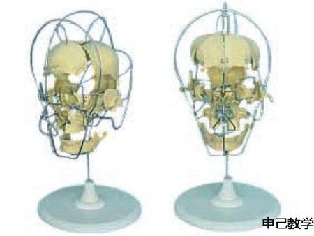 成人头颅骨骨性分离模型