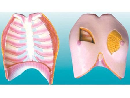 乳房解剖模型 型号:SJ/115117