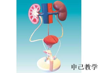 男性泌尿系统生殖模型 型号:SJ/14003