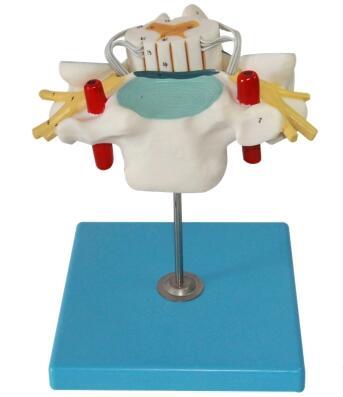 颈椎附脊髓和脊神经放大模型 型号:SJ/118105