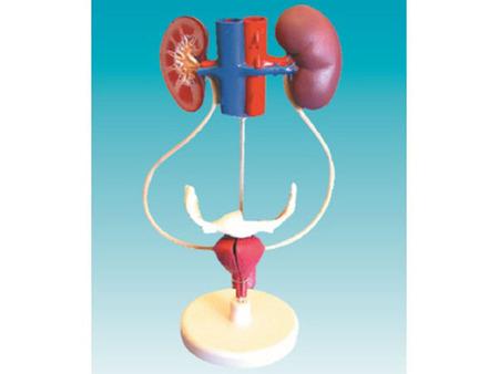 女性泌尿系统模型 型号:SJ/14001-1