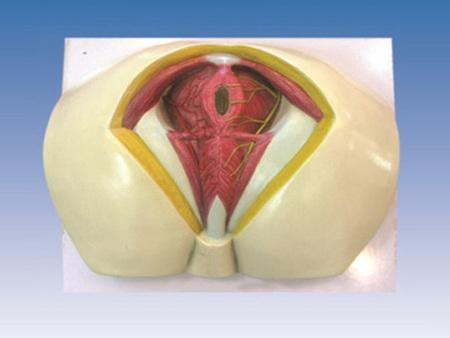 男性会阴解剖模型 型号:SJ/115112