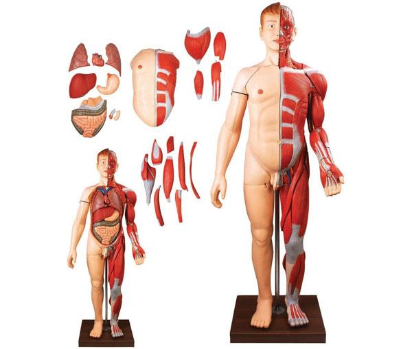 人体全身层次解剖附内脏模型