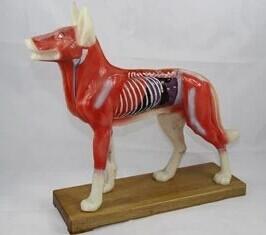 狗体针灸穴位模型 型号:SJ/4004
