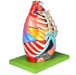 胸腔解剖模型 型号:SJ/113028