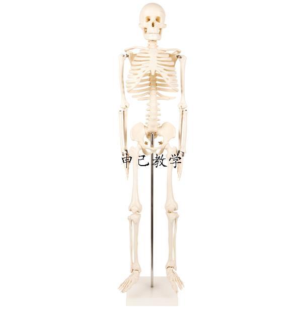 85cm人体骨架模型 型号:SJ/11101-3