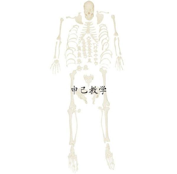 成人散骨模型 型号:SJ/11103