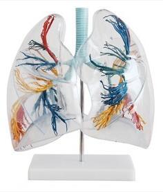 透明肺段模型 型号:SJ/113009