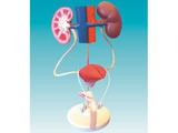 男性泌尿系统模型 型号:SJ/14001-2