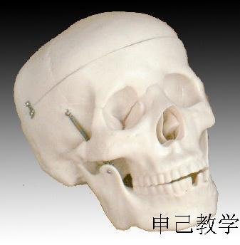 成人头颅骨模型 型号:SJ/11110