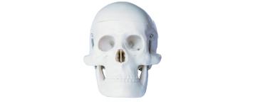 婴儿头颅骨模型