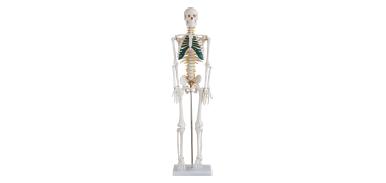人体骨骼带神经模型 型号:SJ/11101-5