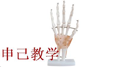 手关节附韧带模型 型号:SJ/11209-3