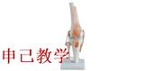 膝关节模型 型号:SJ/11209-5