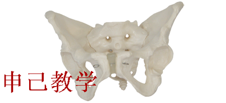 男性盆骨模型 型号:SJ/11127