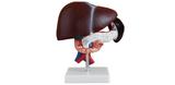 肝、胰和十二指肠模型 型号:SJ/12004