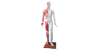 人体针灸附半边肌肉模型 (178cm)型号SJ/501